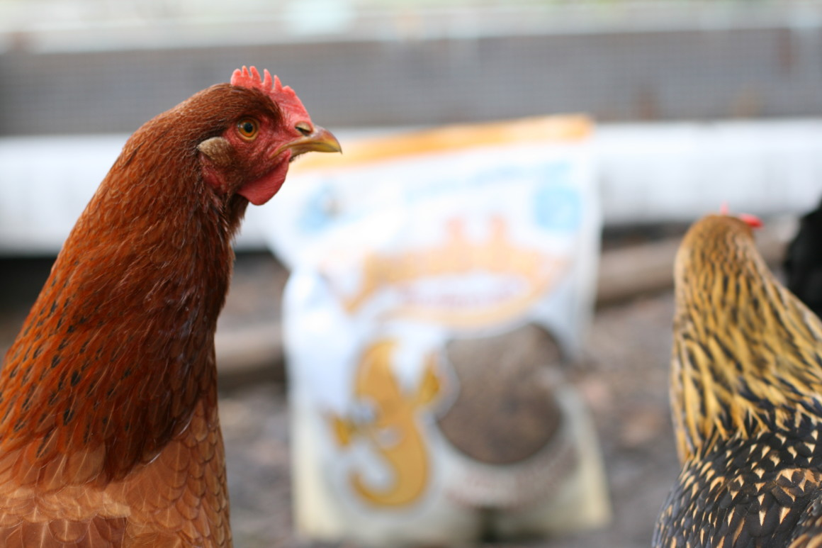 6 Tell Tale Signs Your Chickens Went From Food to Pets